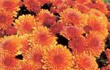 Garden Mum 'Cheryl Spicy Orange'