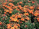 Garden Mum 'Hannah' Orange