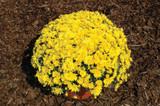 Garden Mum 'Yolanda' Yellow