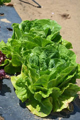 Lettuce Romaine Paris Isle