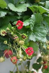 Strawberry Berry Basket Rose