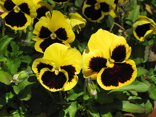 Pansy - Colorpack