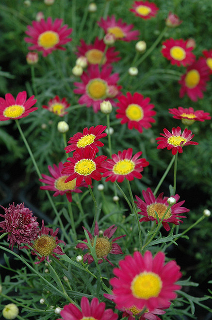 Madeira Red Marguerite Daisy