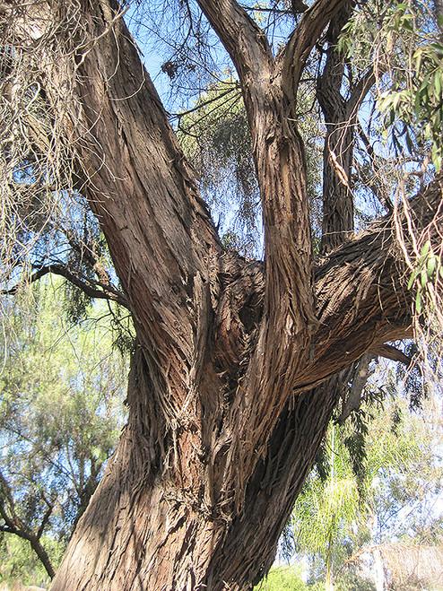 Peppermint Tree