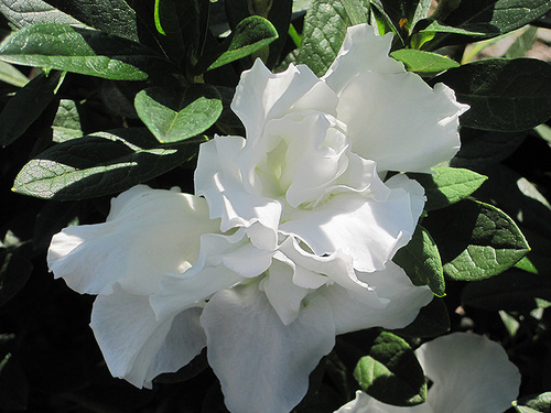 Azalea Alaska White