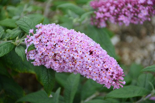 Pugster® Pink Butterfly Bush