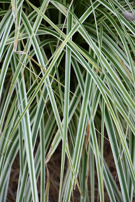 Carex Oshi Feather Falls