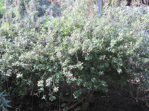 Concha California Lilac
