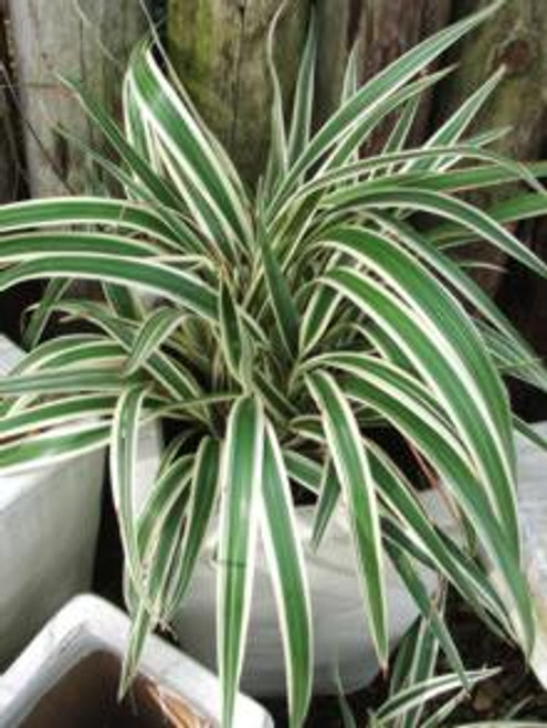 Chlorophytum Reverse Spider Plant