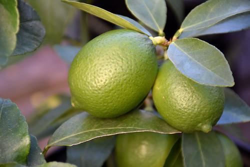 Bearss Seedless Lime