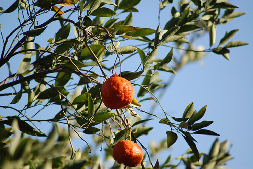 Dancy Tangerine