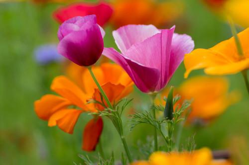 Confetti California Poppy Seeds Native
