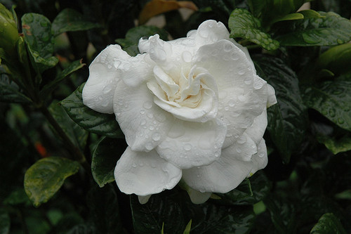 Everblooming Gardenia