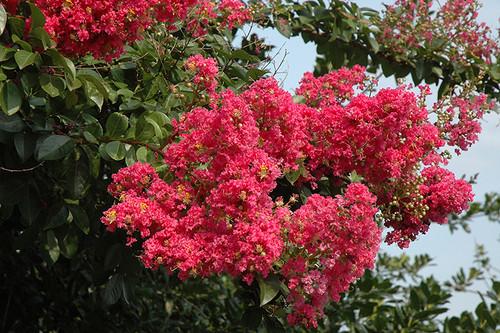 Tuscarora Crapemyrtle