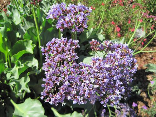 Perez's Sea Lavender