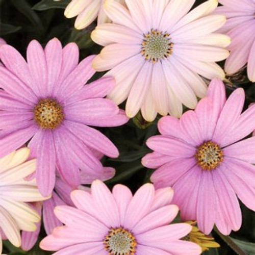 Serenity Pink African Daisy
