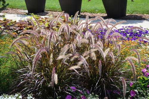 Red Riding Hood Purple Fountain Grass