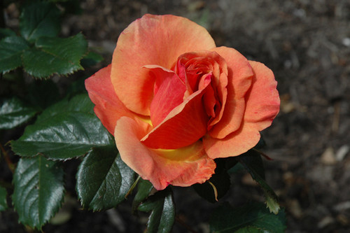 Anna's Promise Rose
