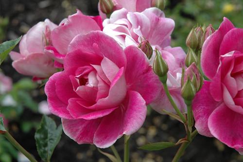 Brilliant Pink Iceberg Rose