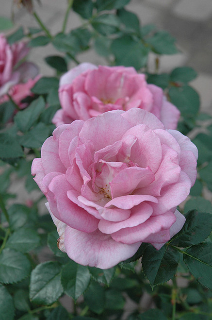 Enchanted Evening Rose