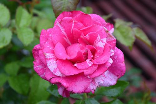 Parade Day™ Rose