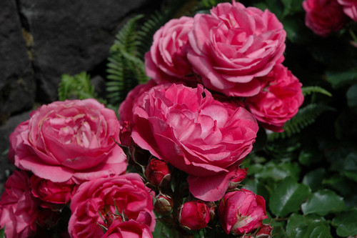 Queen Of Elegance™ Rose