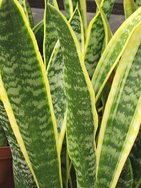Striped Snake Plant
