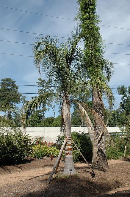 Palm Queen