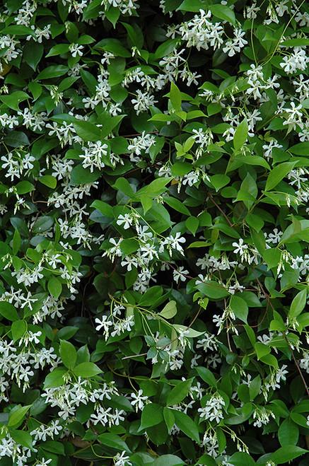 Star - Jasmine