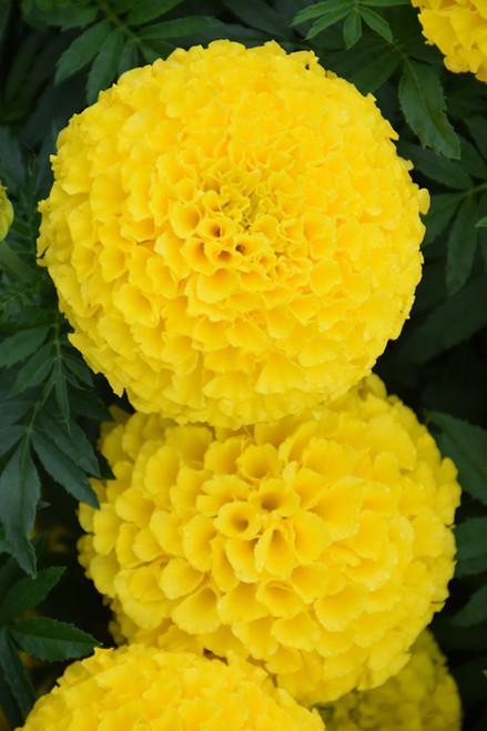 Marigold - Colorpack