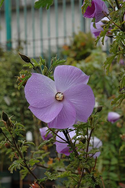 Santa Cruz Lilac Hibiscus