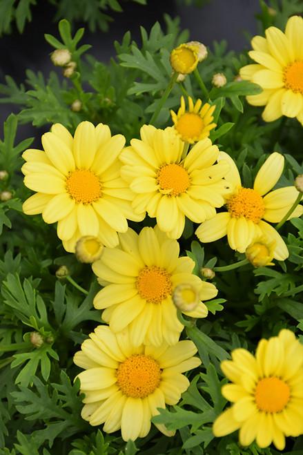 Beauty Yellow Marguerite Daisy