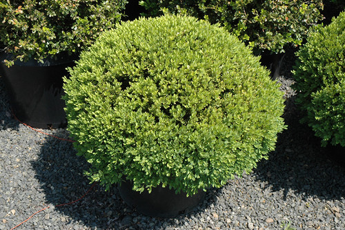 Green Velvet Boxwood (globe form)