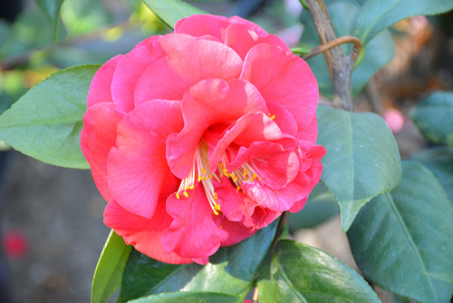 Mathotiana Supreme Camellia
