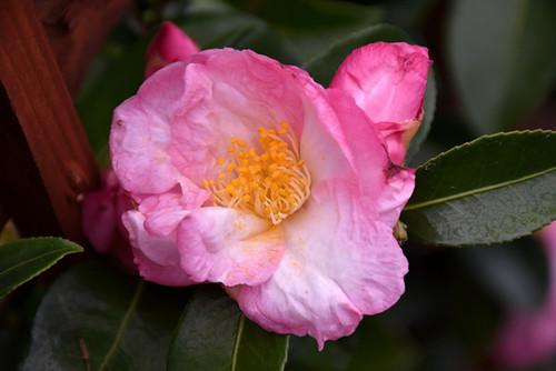 Apple Blossom Camellia