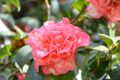 Cleopatra Camellia