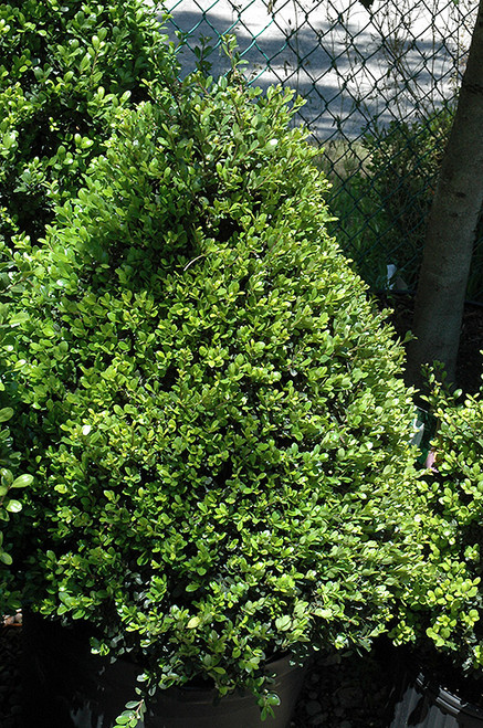 Compact Japanese Holly