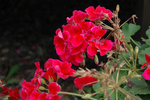 Calliope® Crimson Flame Geranium