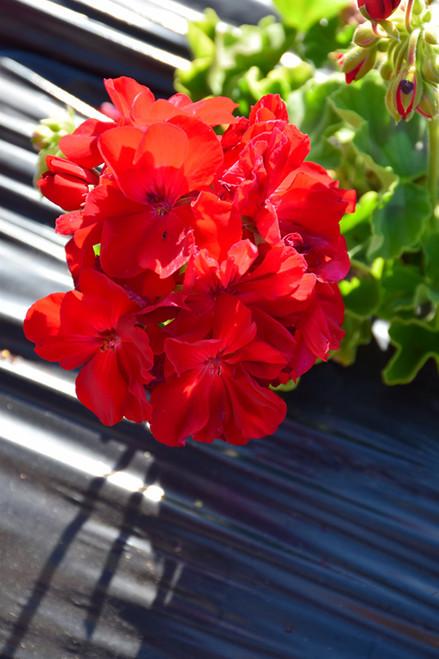 Calliope® Large Dark Red Geranium