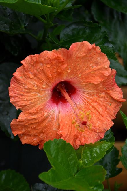 Mandarin Wind Hibiscus