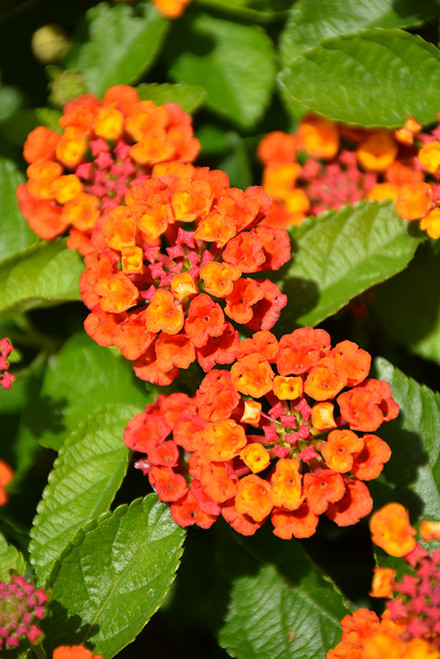 Hot Blooded™ Red Lantana