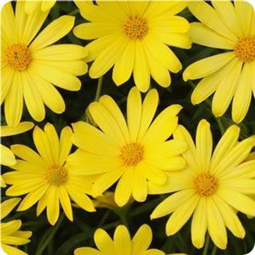 Voltage Yellow African Daisy