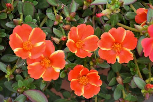 ColorBlast Mango Mojito Portulaca