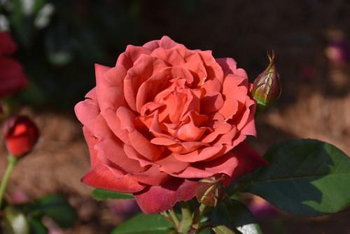 Hot Cocoa Rose
