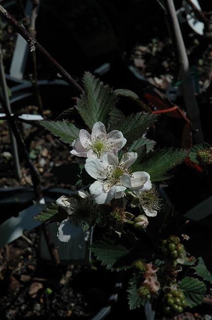 Navajo Thornless Blackberry