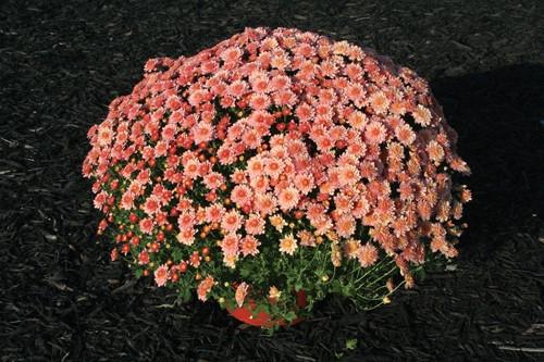 Garden Mum 'Chelsey' Coral