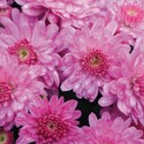Garden Mum 'Chelsey' Pink