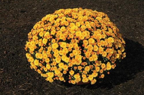 Garden Mum 'Cheryl Golden' Yellow