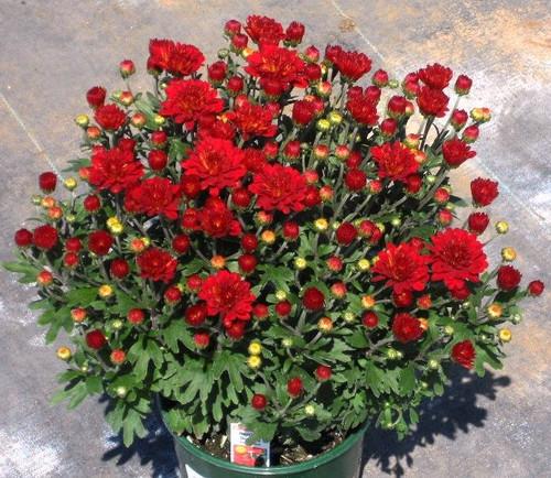 Garden Mum 'Hestia Hot Red'