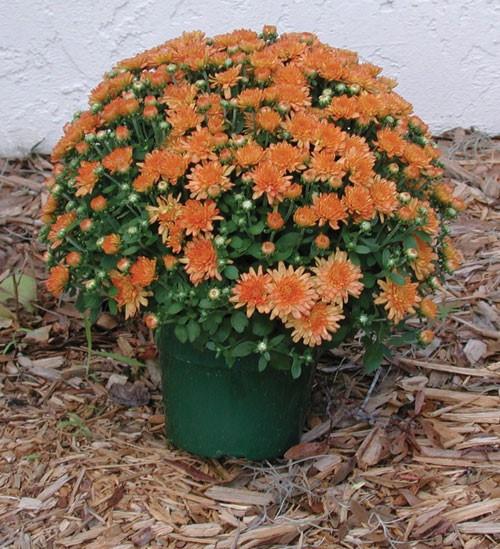 Garden Mum 'Ursula Fancy' Coral-Orange